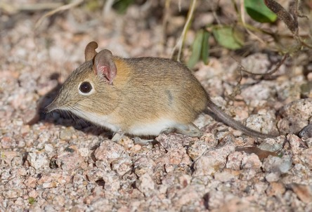 The smallest of the elephant shrews weighs 50gm