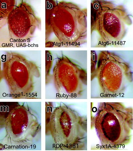 Fruit fly eye mutations (photos VERY much bigger than actual eye size!)